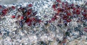parasites et poux rouges