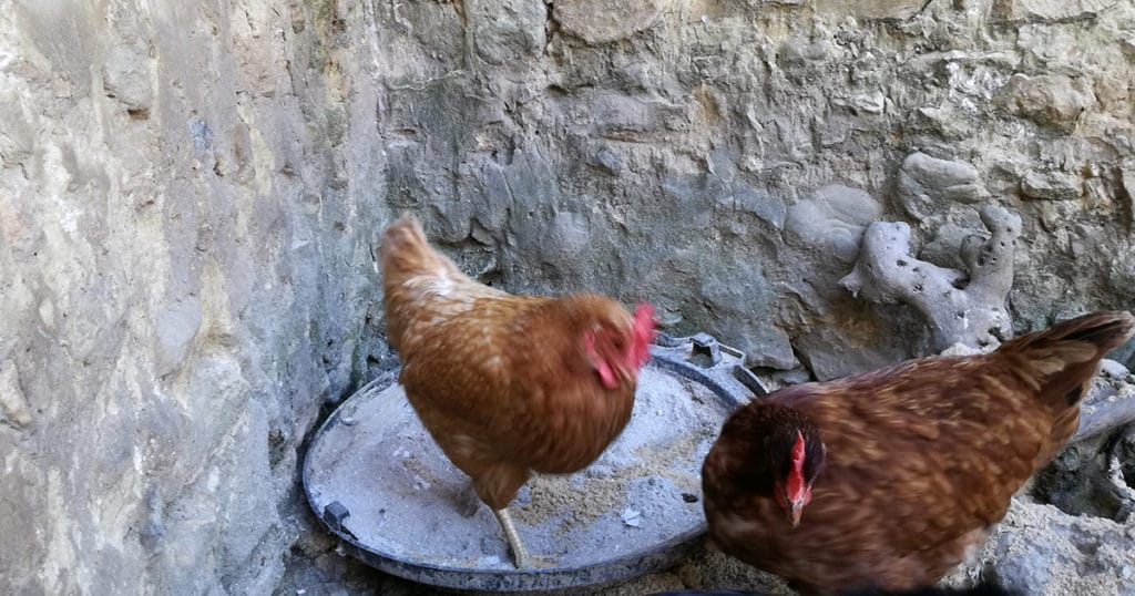 cendre poule