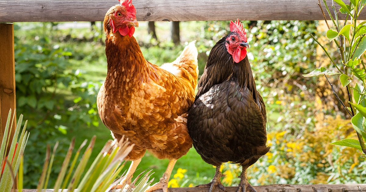 mes poules - L'automne dans le poulailler