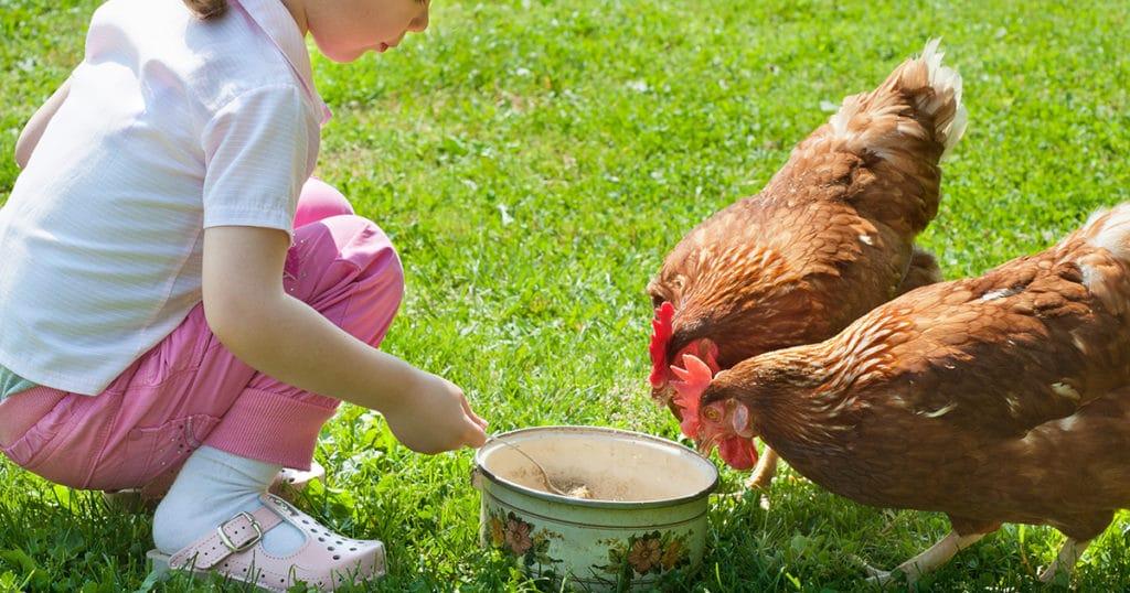poule rousse avec enfants