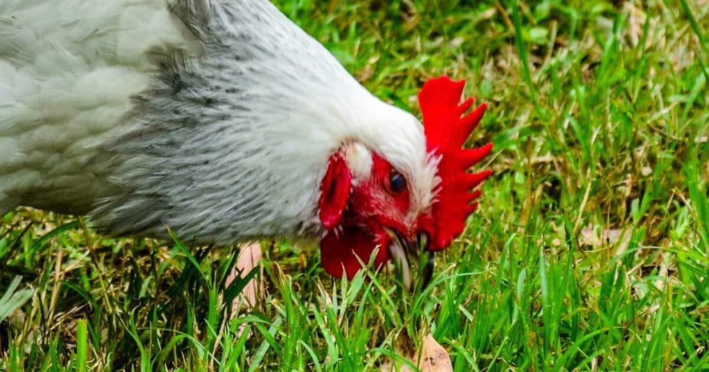 poule dans l'herbe