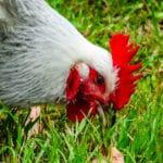 Durée de vie d'une poule : jusqu'à quel âge vivront-elles ?