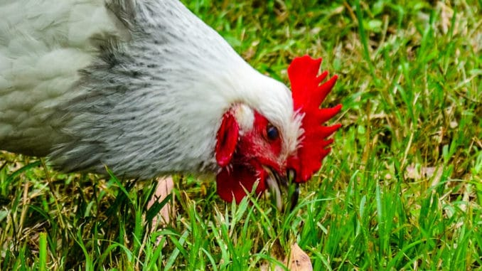 poule mange herbe