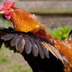 Couper les ailes d'une poule pour éviter qu'elle ne s'envole ?