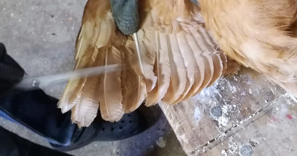 couper plume aile