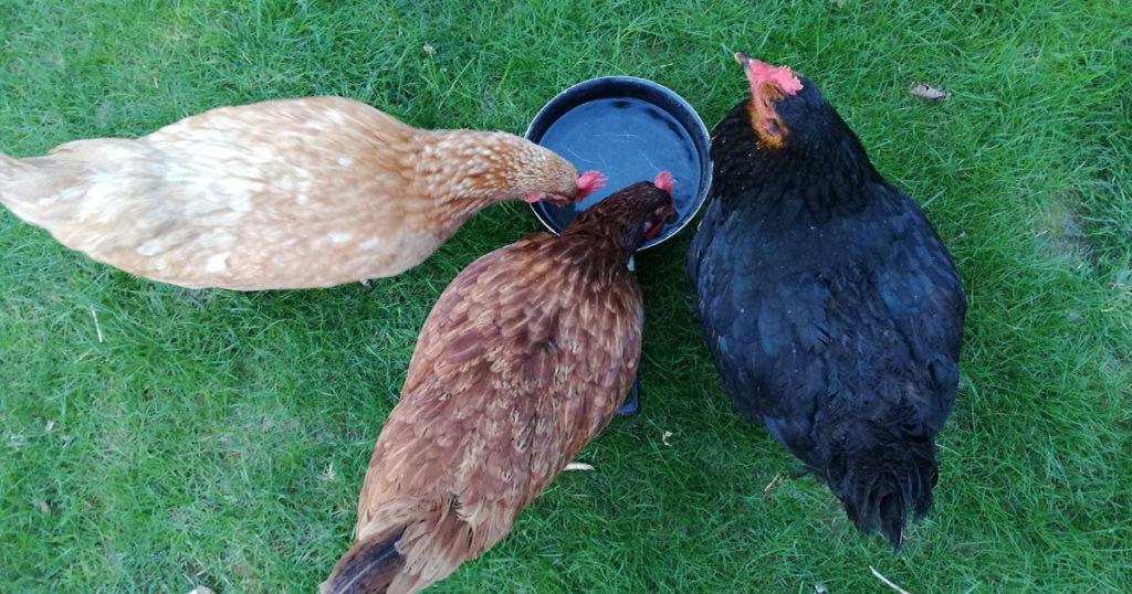 les poules boivent de l'eau