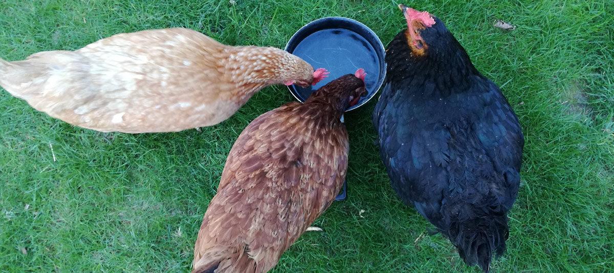 eau poule 1200x533 - Combien une poule boit-elle d'eau par jour ?