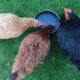 eau poule 80x80 - Abreuvoir à siphon pour les poules