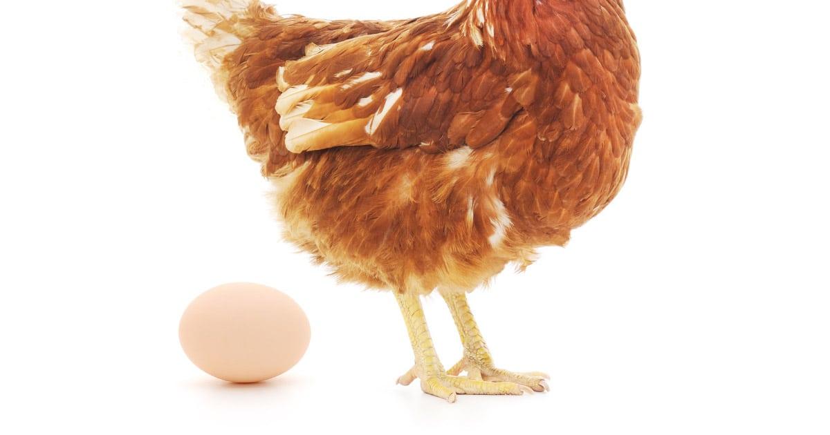 ponte oeuf - Combien d'oeuf une poule pond t-elle ?