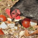 Les aliments toxiques ou mauvais pour les poules