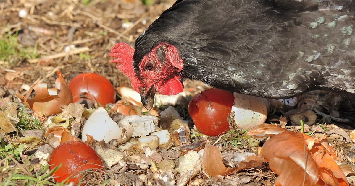 poule restes alimentaires