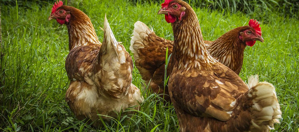 espace par poule 1200x533 - Combien de m² pour avoir des poules ?