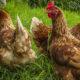 espace par poule 80x80 - Déplumage des poules : le picage