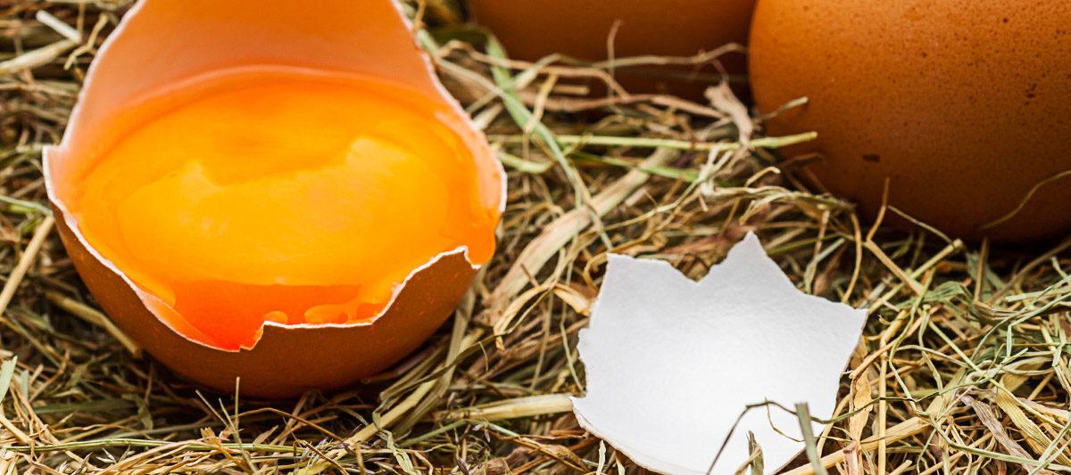 oeuf casse poulailler 1200x533 - Alerte : mes poules cassent leurs oeufs
