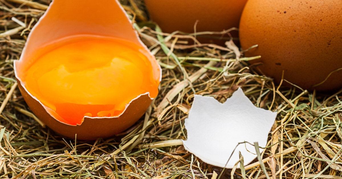 oeuf casse poulailler - Alerte : mes poules cassent leurs oeufs
