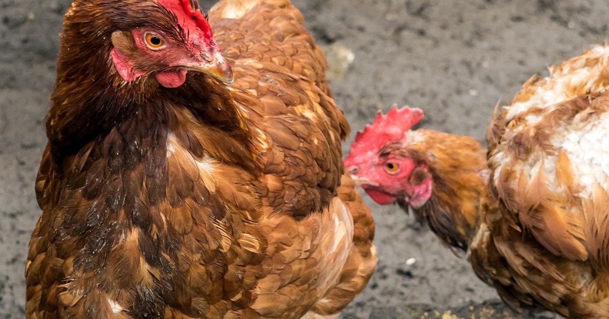 Déplumage des poules : le picage