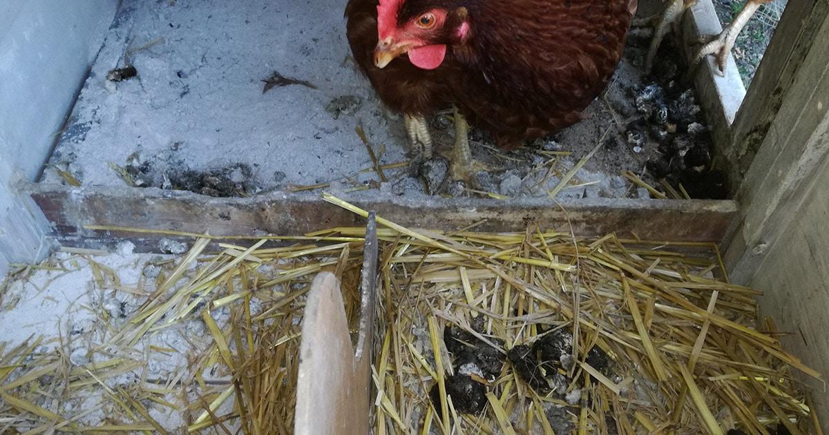 poulailler a nettoyer - Mini poulailler pour une poule