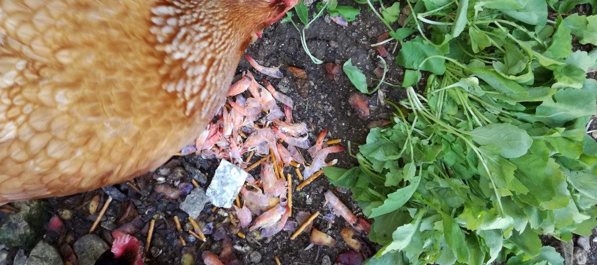 radis crevette 1200x533 - Alimentation pour les poules pondeuses : que mangent-elles ?