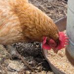 Avoir des poules…