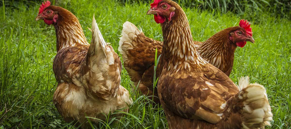 3 poules 1200x533 - Avoir 4 poules : le guide