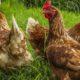 3 poules 80x80 - Alimentation pour les poules pondeuses : que mangent-elles ?