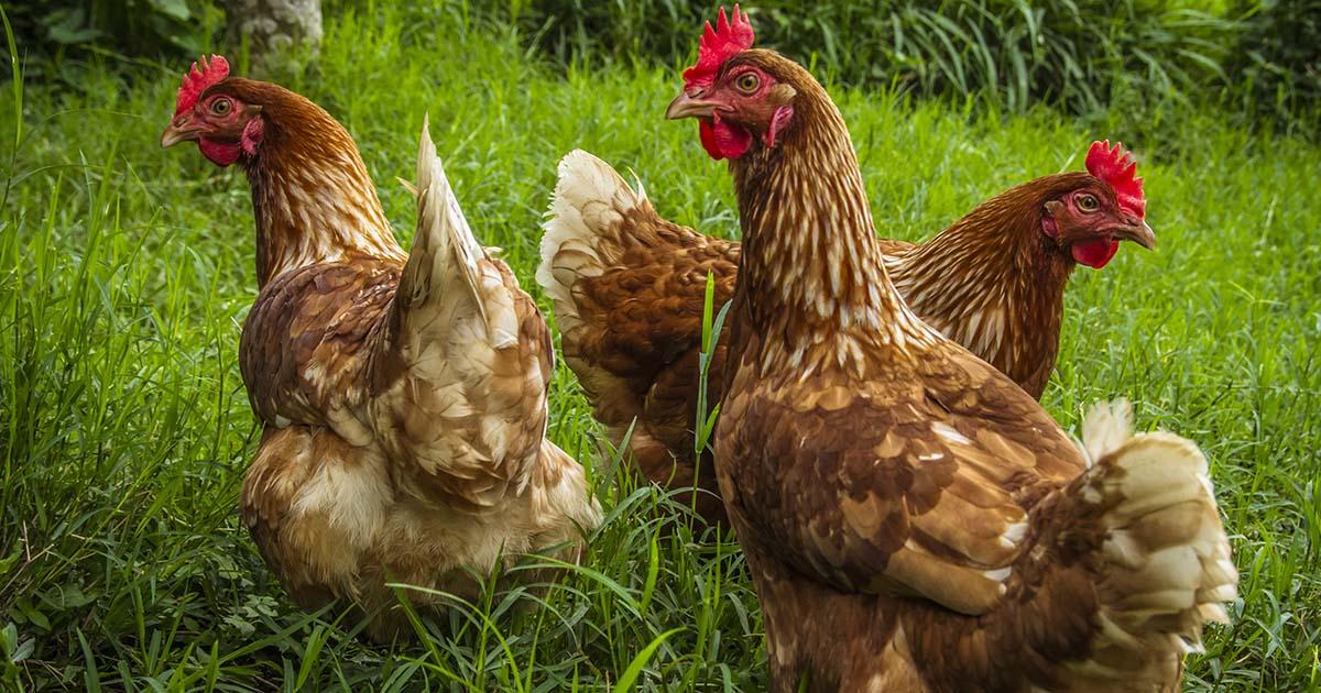 Avoir 4 poules : le guide