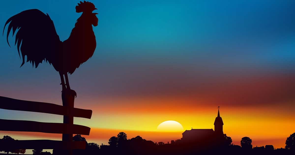 coq chante matin - Protéger son poulailler des oiseaux
