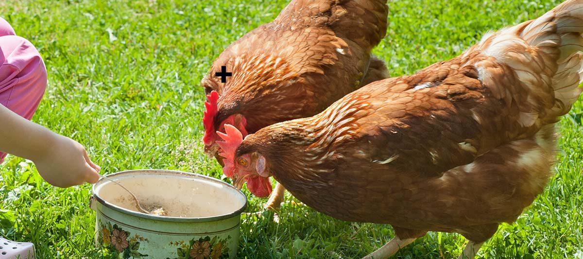deux poules 1200x533 - La terre de diatomée dans la nourriture : un vermifuge naturel