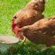 deux poules 80x80 - Poulailler pas cher : moins de 100 euros