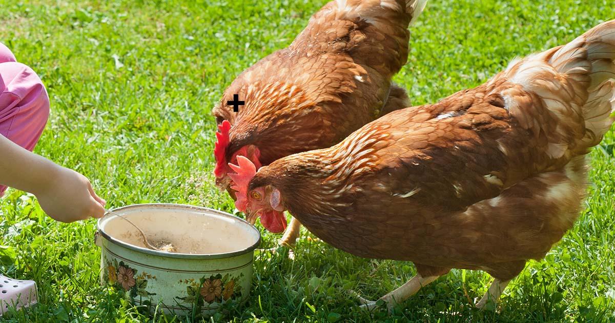 deux poules - Poulailler pas cher : moins de 100 euros