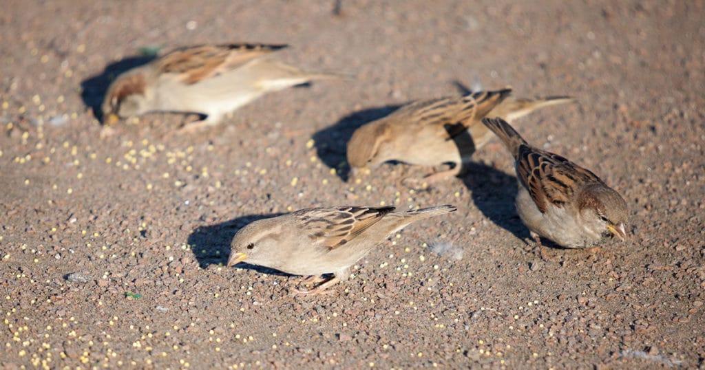 oiseau mange graines