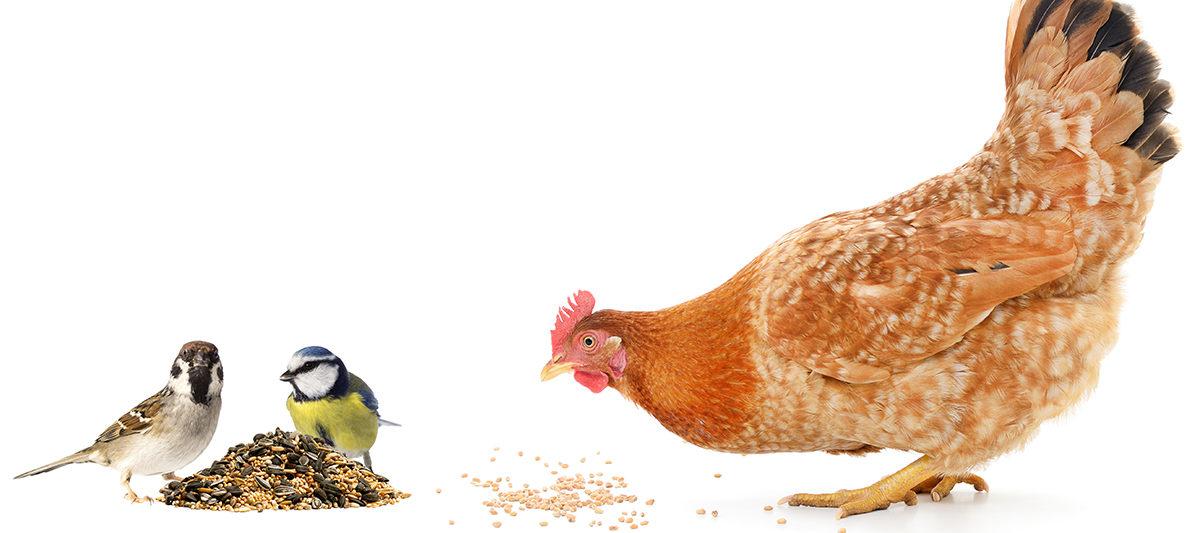 oiseau vs poule 1200x533 - Protéger son poulailler des oiseaux