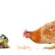 oiseau vs poule 80x80 - Pourquoi le coq chante t-il le matin ?