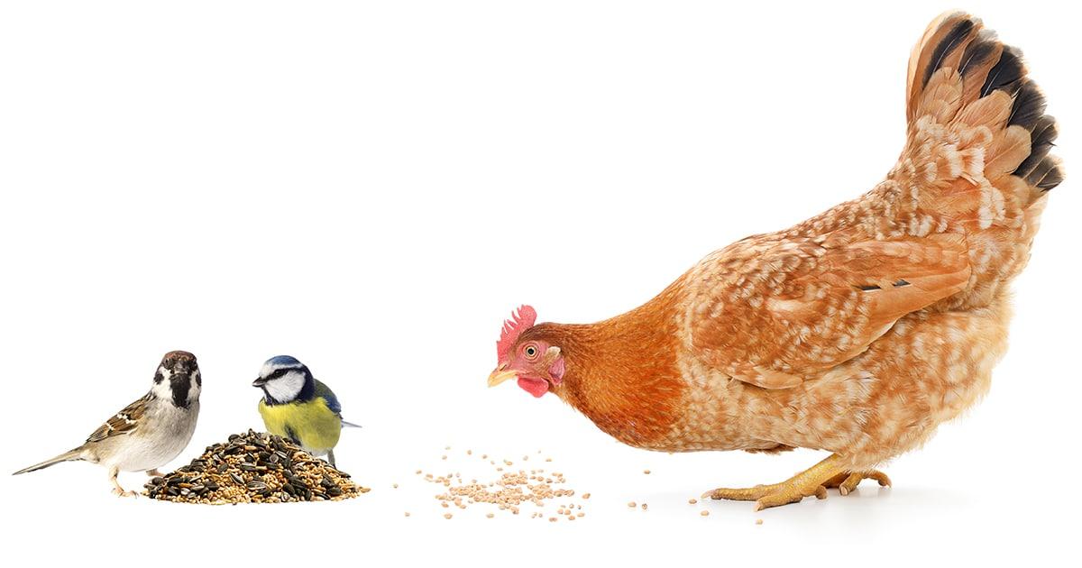 oiseau vs poule - Protéger son poulailler des oiseaux