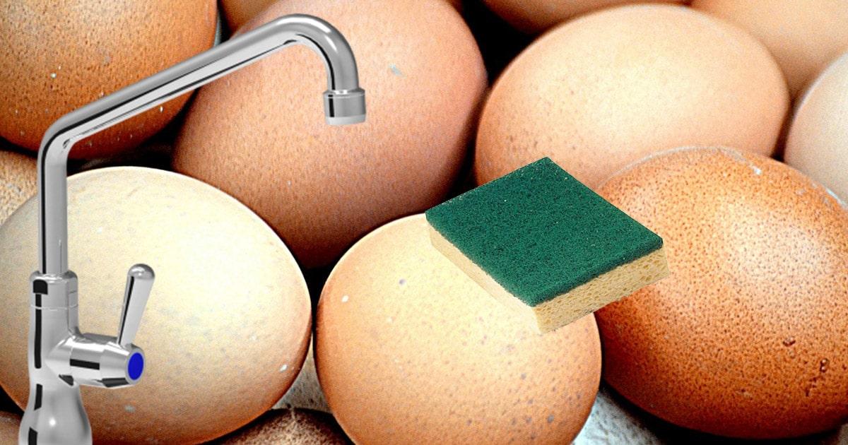 laver des oeufs - Alimentation pour les poules pondeuses : que mangent-elles ?