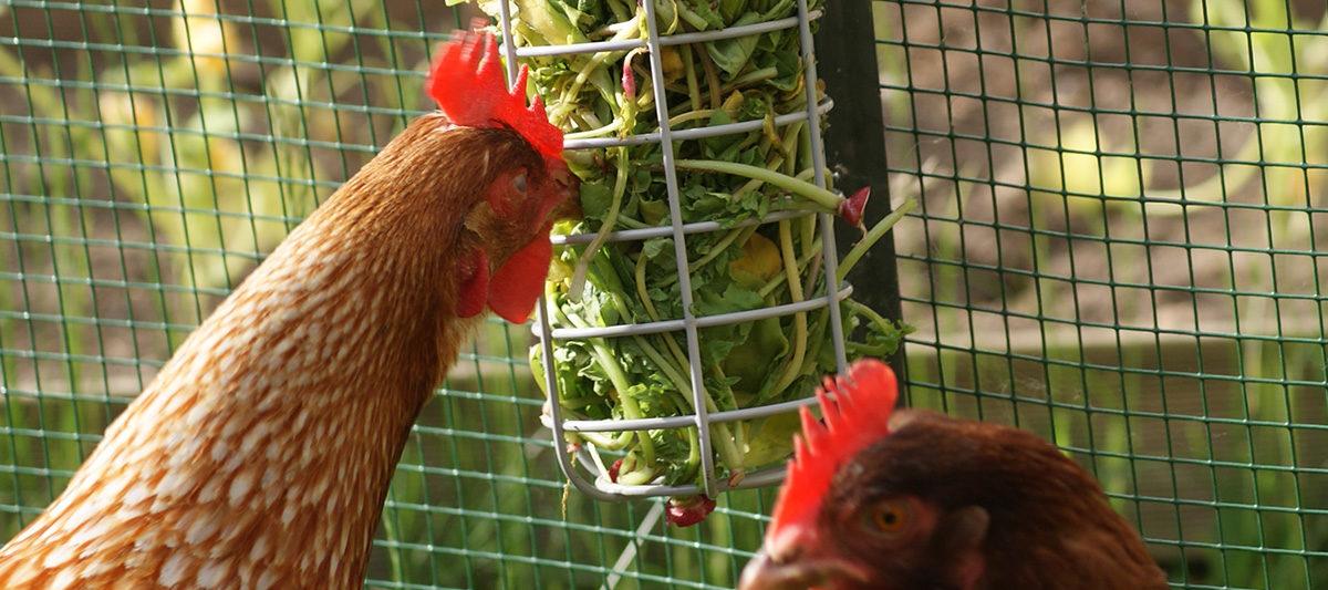 man 1200x533 - Caddi,un distributeur de nourriture pour les poules