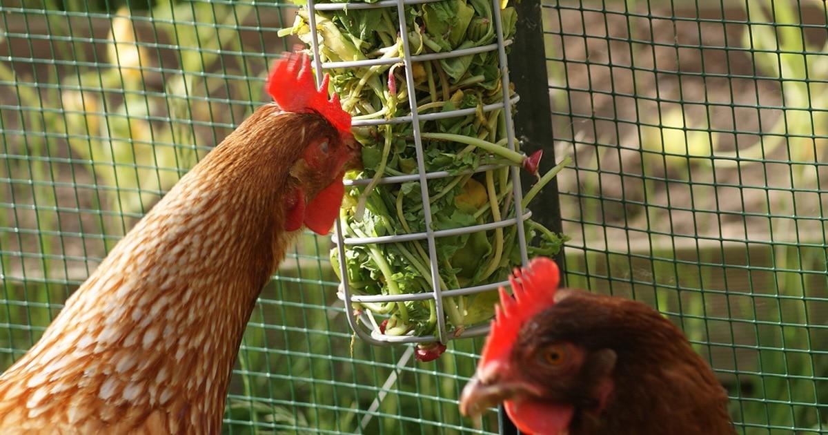 man - Caddi,un distributeur de nourriture pour les poules