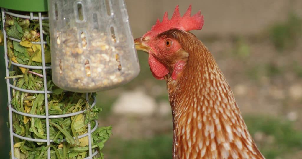 omlet picore 1024x538 - Caddi,un distributeur de nourriture pour les poules