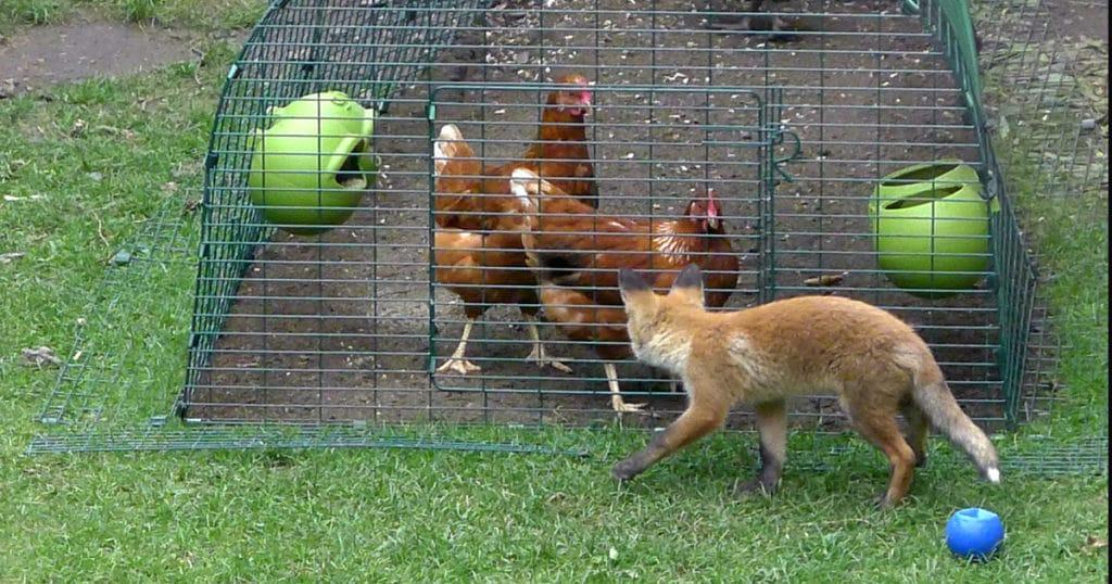 poule contre renard