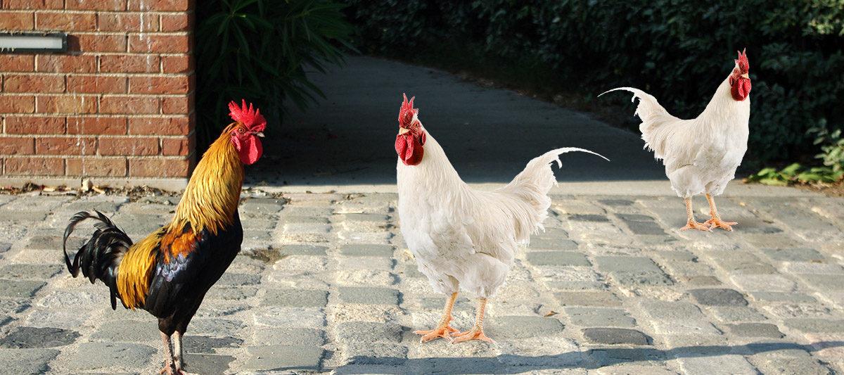 poule en ville 1200x533 - Poulailler en ville : des poules en milieu urbain ?