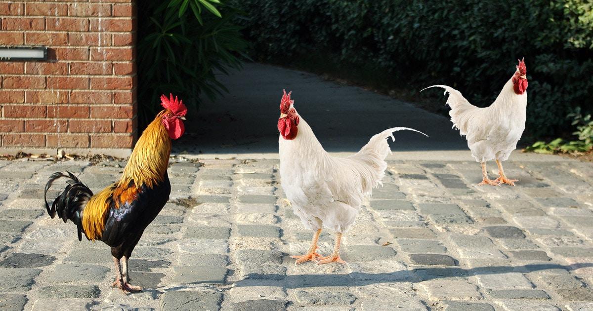 Poulailler en ville : des poules en milieu urbain ?