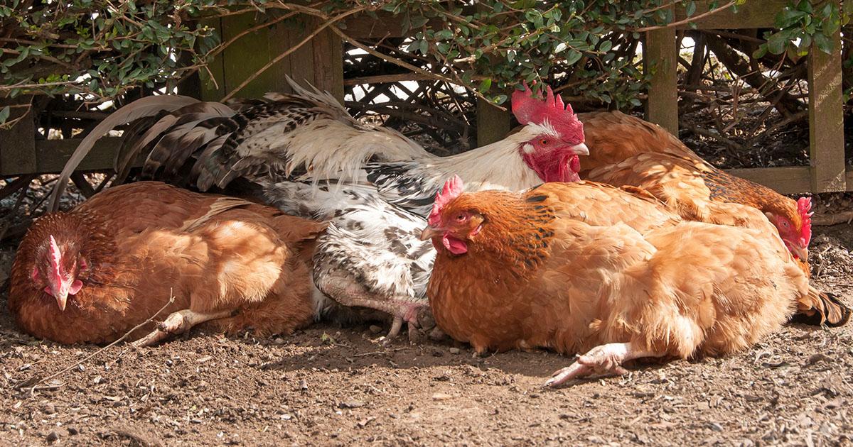 poule ete soleil - Faut-il laver ses oeufs de ses poules ?