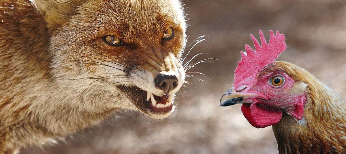 poule vs renard 1200x533 - Attaque de renard : comment protéger son poulailler ?
