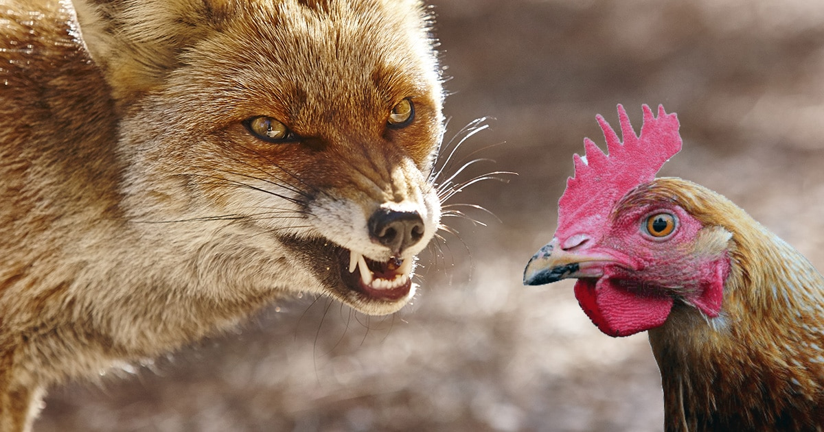 poule vs renard - Poulailler en ville : des poules en milieu urbain ?