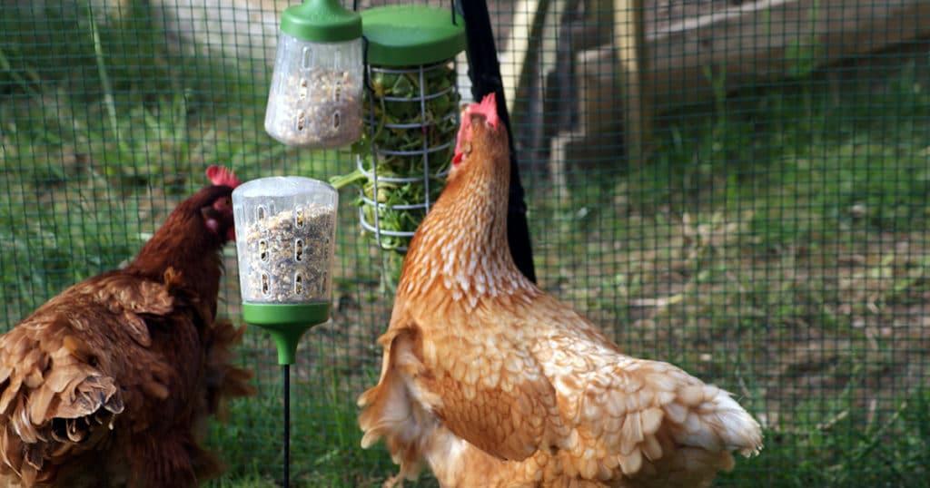 poules qui mangent