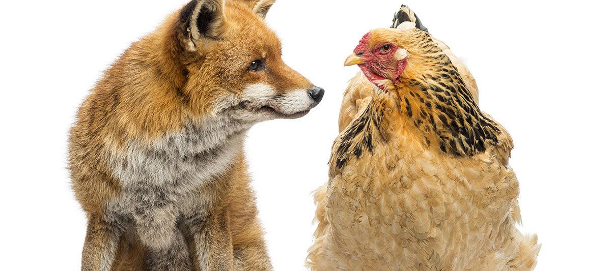 predateur poule 1200x533 - Prédateurs : quels sont ceux qui attaquent les poules ?