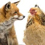 Prédateurs : quels sont ceux qui attaquent les poules ?