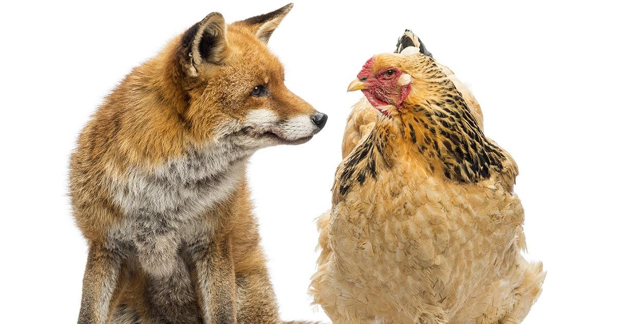 predateur poule