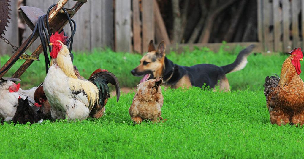 chien poules