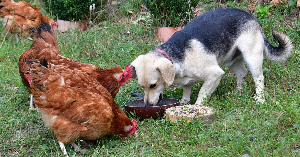 chien et poule